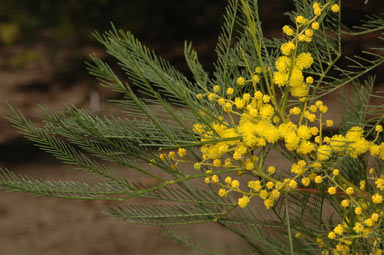 APII jpeg image of Acacia dangarensis  © contact APII