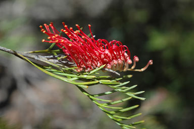 APII jpeg image of Grevillea hookeriana  © contact APII