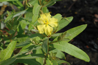 APII jpeg image of Hibbertia brownii  © contact APII