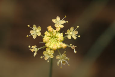 APII jpeg image of Trachymene rotundifolia  © contact APII