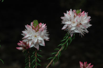 APII jpeg image of Calytrix alpestris  © contact APII