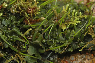 APII jpeg image of Megaceros  © contact APII