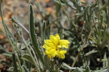 APII jpeg image of Goodenia willisiana  © contact APII