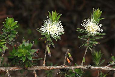APII jpeg image of Kunzea rupestris  © contact APII