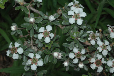APII jpeg image of Leptospermum grandifolium  © contact APII