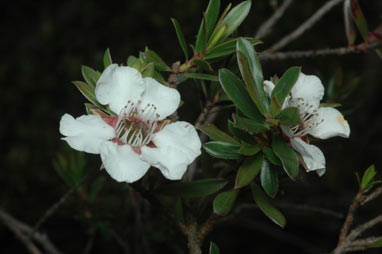 APII jpeg image of Leptospermum riparium  © contact APII