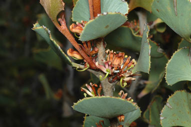 APII jpeg image of Hakea brownii  © contact APII