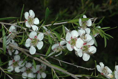APII jpeg image of Leptospermum flavescens  © contact APII