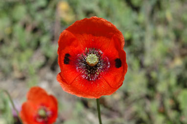 APII jpeg image of Papaver dubium  © contact APII