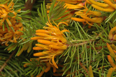 Persoonia chamaepitys flowers - ANBG photo dig 15211 by Murray Fagg