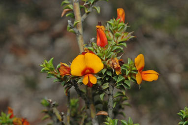 APII jpeg image of Pultenaea procumbens  © contact APII
