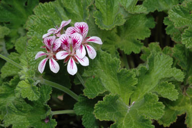 APII jpeg image of Pelargonium australe  © contact APII