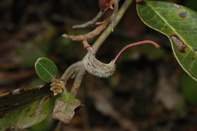 APII jpeg image of Grevillea laurifolia  © contact APII