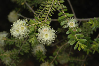 APII jpeg image of Kunzea flavescens  © contact APII