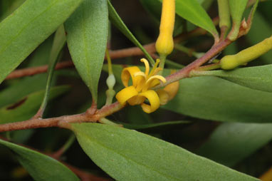 APII jpeg image of Persoonia attenuata  © contact APII