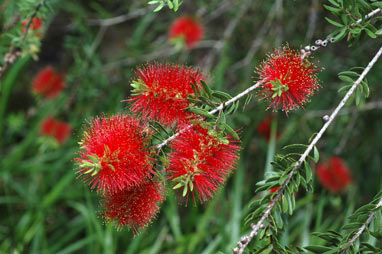 APII jpeg image of Callistemon recurvus  © contact APII