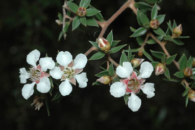 APII jpeg image of Leptospermum petraeum  © contact APII