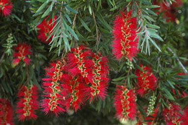 APII jpeg image of Callistemon viminalis 'Hannah Ray'  © contact APII