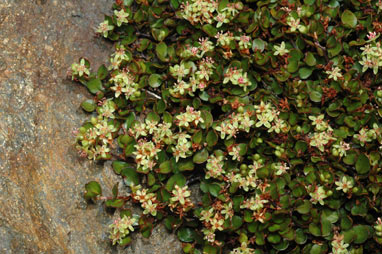 APII jpeg image of Muehlenbeckia axillaris  © contact APII
