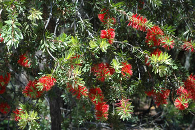 APII jpeg image of Callistemon 'Howie's Fire Glow'  © contact APII