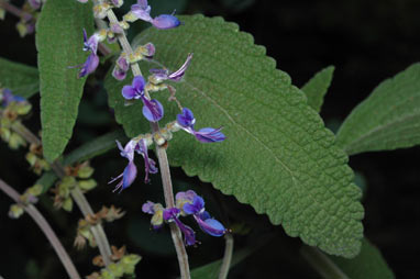 APII jpeg image of Plectranthus alloplectus  © contact APII
