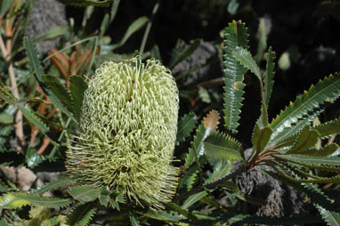 APII jpeg image of Banksia aemula  © contact APII