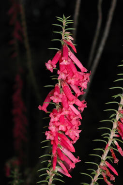 APII jpeg image of Epacris impressa  © contact APII