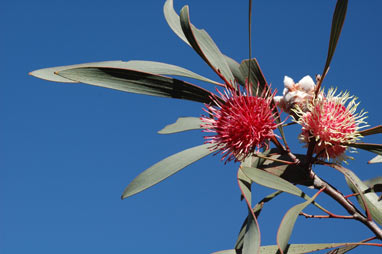 APII jpeg image of Hakea laurina  © contact APII