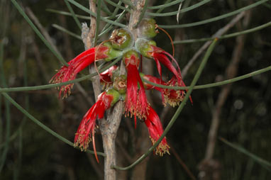 APII jpeg image of Calothamnus gilesii  © contact APII
