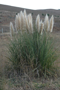 APII jpeg image of Cortaderia selloana  © contact APII