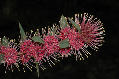 APII jpeg image of Hakea 'Burrendong Beauty'  © contact APII