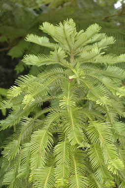 APII jpeg image of Wollemia nobilis  © contact APII
