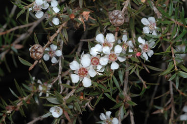 APII jpeg image of Leptospermum rupicola  © contact APII