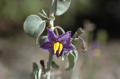 APII jpeg image of Solanum orbiculatum  © contact APII