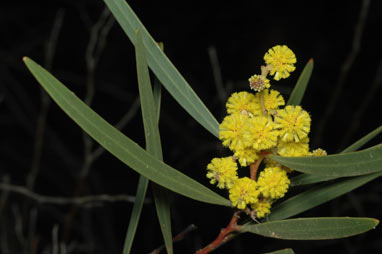 APII jpeg image of Acacia jennerae  © contact APII