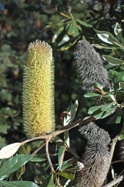 APII jpeg image of Banksia conferta  © contact APII