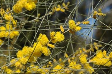 APII jpeg image of Acacia curranii  © contact APII