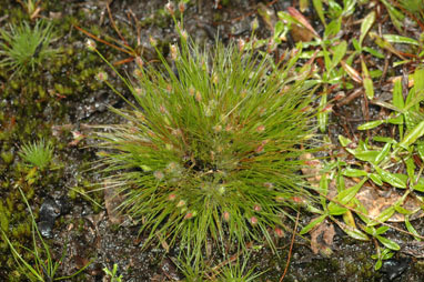 APII jpeg image of Centrolepis strigosa subsp. strigosa  © contact APII