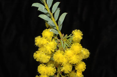 APII jpeg image of Acacia camptoclada  © contact APII