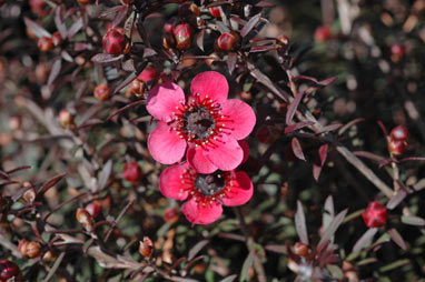 APII jpeg image of Leptospermum 'Nanum Rubrum'  © contact APII