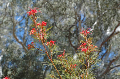 APII jpeg image of Grevillea 'Bonfire'  © contact APII