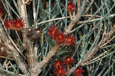 APII jpeg image of Allocasuarina grampiana  © contact APII