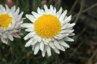 APII jpeg image of Leucochrysum alpinum  © contact APII