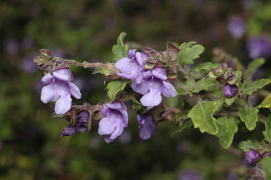 APII jpeg image of Prostanthera incana  © contact APII