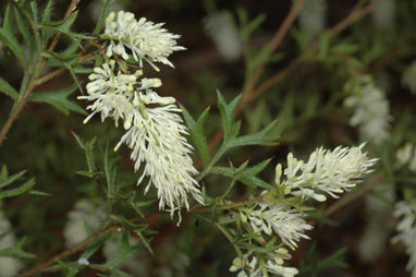 APII jpeg image of Grevillea pulchella subsp. ascendens  © contact APII