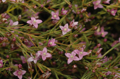 APII jpeg image of Boronia filifolia  © contact APII