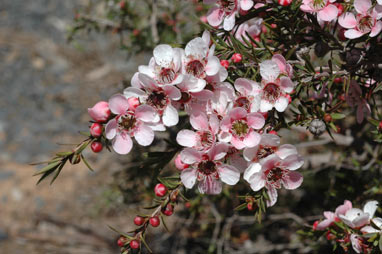 APII jpeg image of Leptospermum 'Pink Cascade'  © contact APII