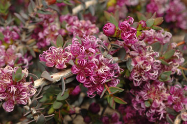 APII jpeg image of Melaleuca violacea  © contact APII