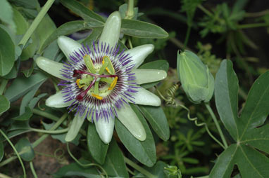 APII jpeg image of Passiflora caerulea  © contact APII
