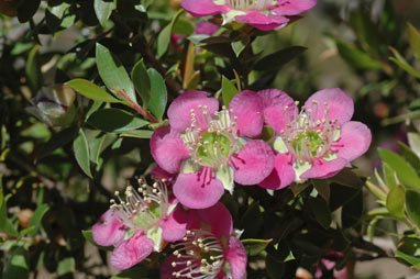APII jpeg image of Leptospermum 'Rhiannon'  © contact APII